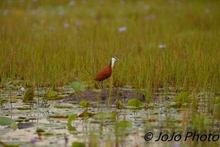 African Jacana in Mabamba Swamp west of Entebbe, Uganda