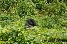 Silverback Gorilla, Makara, scratching head