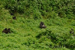 Silverback Gorilla, Makara with family. (Female has a baby on her back)