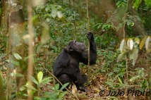 Chimpanzee (looking for food) in Kibale National Park