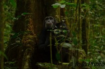 Chimpanzee in Kibale National Park