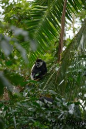 Black and White Colobus Monkey at Kibale Forest Camp