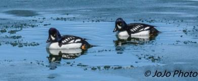 Barrow's Goldeneye Ducks at West Thumb Geyser Basin