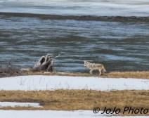 Coyote in the Hayden Valley