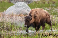 Young bison at Little America