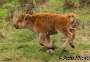 Red dog seeing how fast he can run!