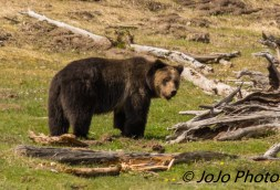 Grizzly at Steamboat Point