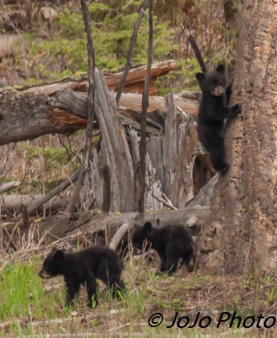 Three Cubs at Rosie's Meadow