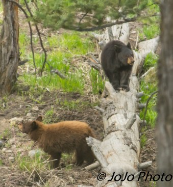 Sibling black bears (maybe 2 years old) at pullout above Mammoth Hot Springs
