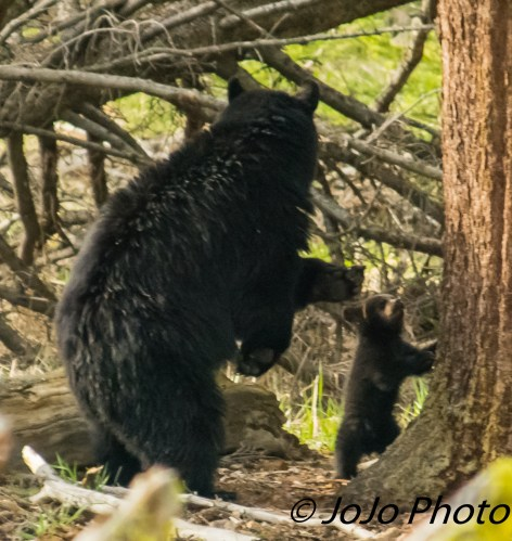 Rosie and her Shy Cub (Rosie is silently calling the other 2 cubs down from the tree for dinner)