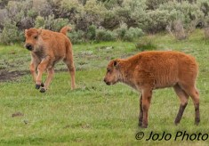 """Two rambunctious """"red dog"""" bison calves"""