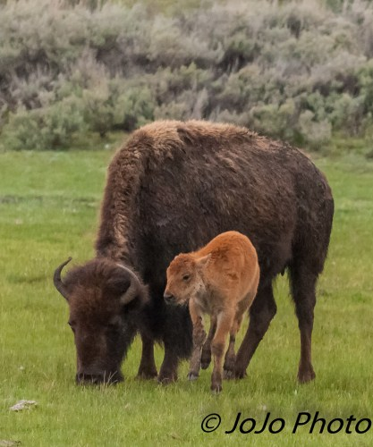 Bison and her Red Dog Calf