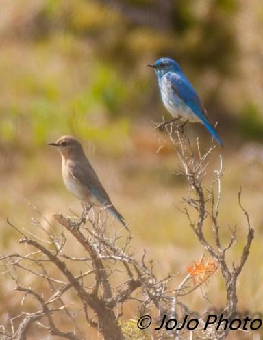 Mountain Bluebirds at Yellowstone Picnic Area