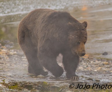 Beau Grizzly Bear at Mary Bay - He looks like he's been in a fight!