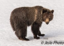 Grizzly near Mud Volcano