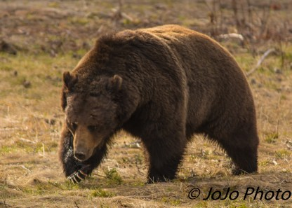 Here comes Beau Grizzly Bear