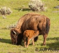 Bison nursing her red dog calf.