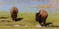 Bison in Little America