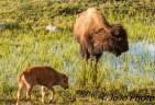 Bison with her red dog calf