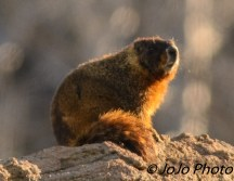 Yellow-bellied Marmot at Sedge Bay