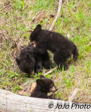 Rosie's three cubs - the 2 onery cubs and the shy one