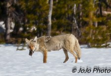 Coyote catches a uinta in meadow near Canyon Village