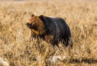 Grizzly at Alum Creek