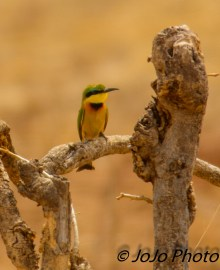 Little Bee-Eater in Tarangire National Park