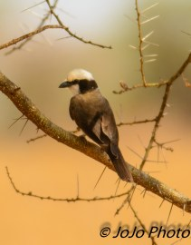Northern White-Crowned Shrike in Tarangire National Park