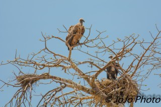 Ruppel's Vultures in Tarangire National Park
