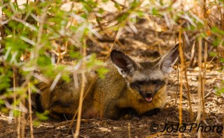 Bat-eared Fox in Tarangire National Park