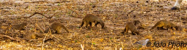 Banded Mongoose in Tarangire National Park