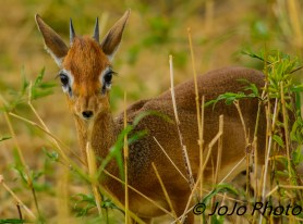 Dik-dik in Tarangire National Park