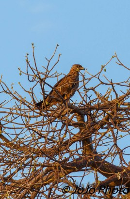 Tawny Eagle in Tarangire National Park