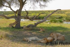 Lazy lions in Serengeti National Park