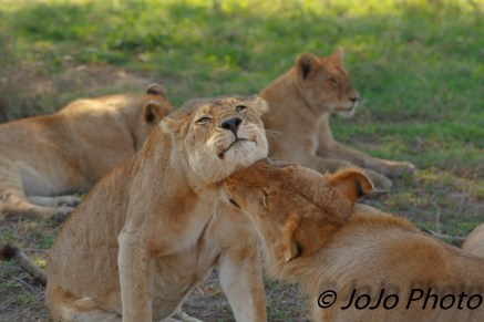 Lions nuzzle in Serengeti National Park