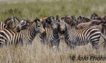 Zebra (Burchell's) pose for photo in Serengeti National Park