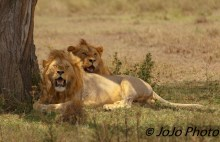 Lions resting in Serengeti National Park