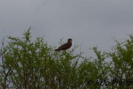 Brown snake eagle in Serengeti National Park