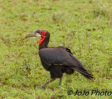 Ground hornbill in Serengeti National Park