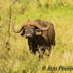 Cape buffalo with Yellow-billed Oxpecker in Serengeti National Park