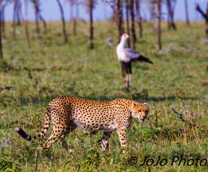 Cheetah with Secretarybird in Serengeti National Park