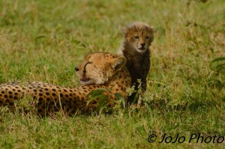 Cheetah with cub in Serengeti National Park