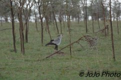 Secretarybird in Serengeti National Park