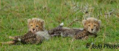 Cheetah cubs in Serengeti National Park