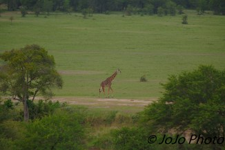 Giraffe seen from Hot Air Balloon in Serengeti
