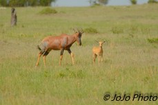 Topi and Calf near Mara River in Serengeti