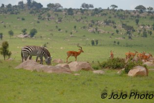 Impala and Zebra in Serengeti