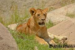 Lioness in Serengeti