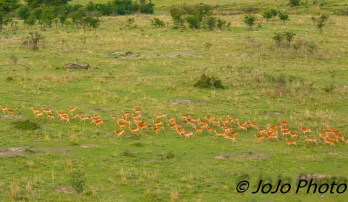 Impala seen from Hot Air Balloon Ride in Serengeti